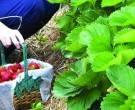Сезонска работа во Финска – Берење јагоди! Информирајте се!