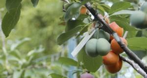 Спектакуларно: Дрво кое раѓа 40 различни видови овошје