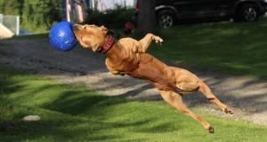 Ова е најопасното куче на светот, еве што може!