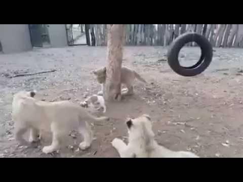 Ако не знаете што е храброст, тогаш тоа ќе ви го покаже ова кученце против три лавчиња!