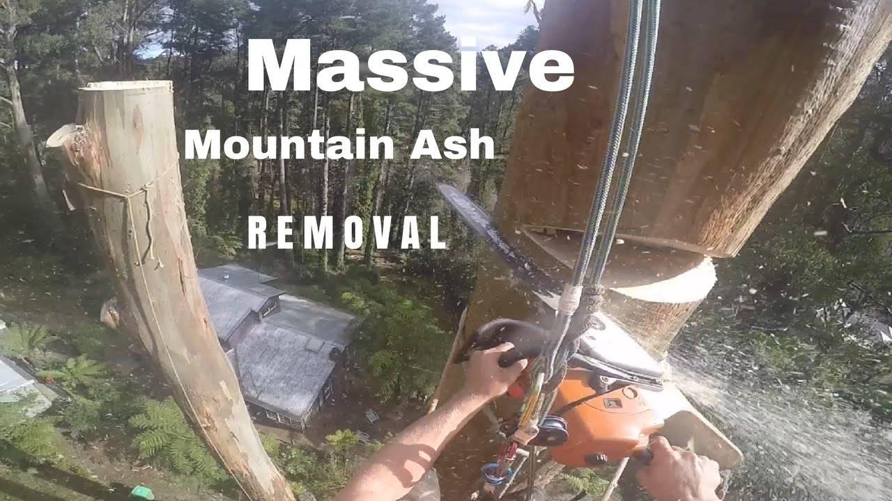 Ако се плашите од висина, НЕ ГО ГЛЕДАЈТЕ ОВА! Се качил на дрво високо 45 метри, и почнал да го сече со моторна пила