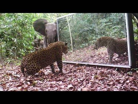 Поставил големо огледало во прашума, а потоа се приближил леопард. Не можел да верува што ќе следи…