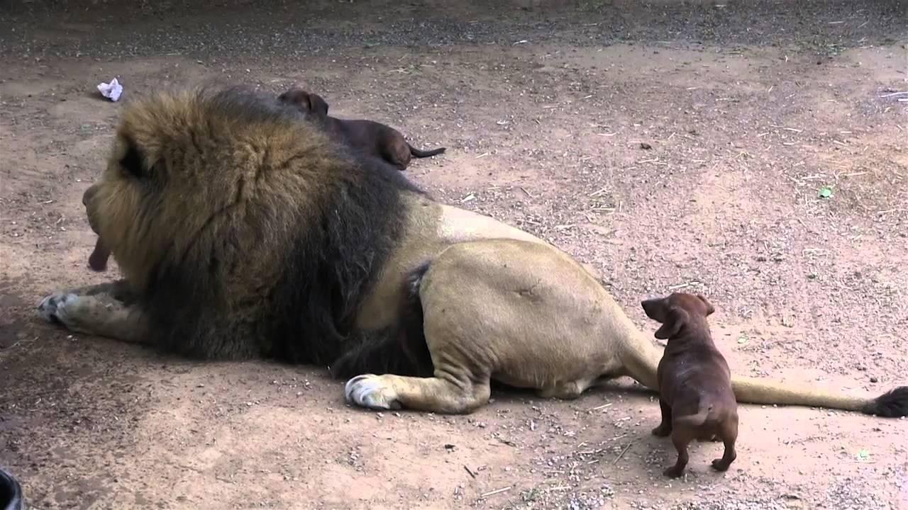 Три кучиња влегле во кафез на лав, а потоа настанал ШОК!
