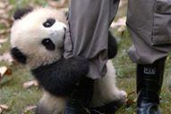bebe-panda-kje-napravi-se-za-da.jpg