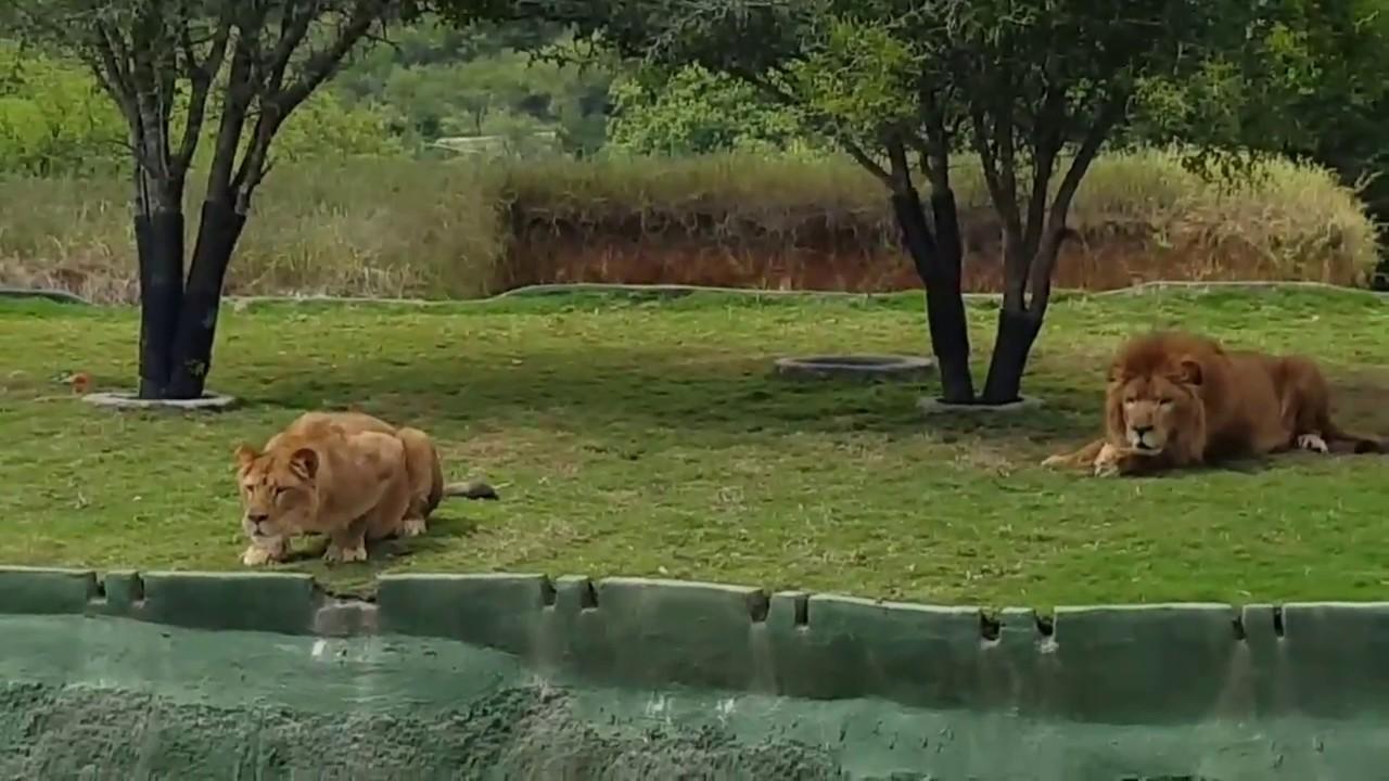 Лавица се обидела да прескокне канал како би ги зграпчила посетителите!