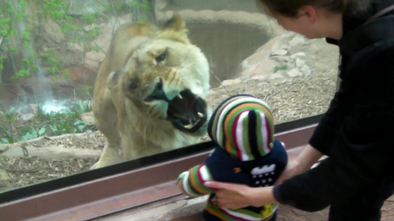СТРАШНА СЦЕНА ОД ЗООЛОШКА: Погледнете како лавица се обидела да изеде мало дете!