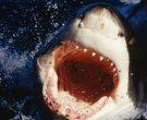 Пронајдена ајкула стара повеќе од 500 години: На свет дошла во времето на Шекспир