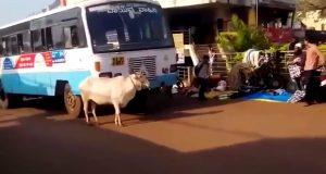 Најтажното видео на светот: Крава 4 години секој ден го запира автобусот кој и го убил единственото теле!