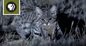 Запознајте ја најсмртоносната мачка на планетата