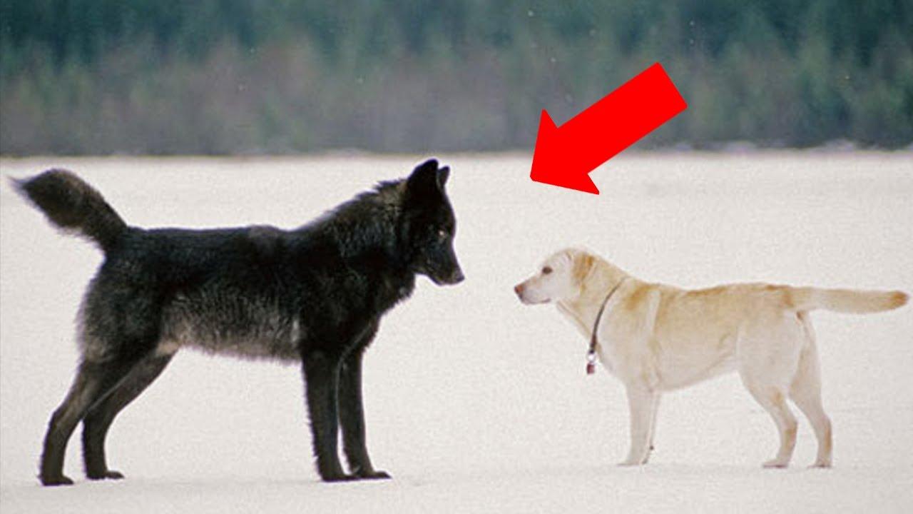 Ова се случува кога див волк ќе му пријде на домашно куче