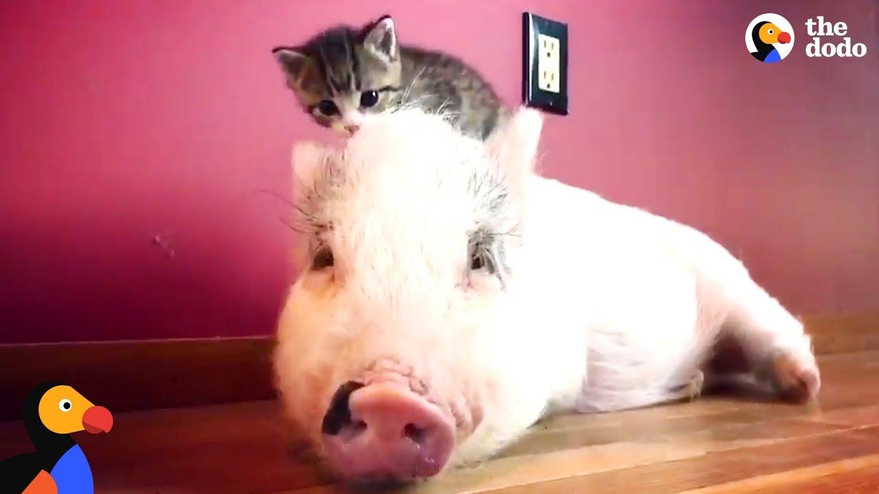 Свињче во друштво на мачки сега мисли дека е една од нив