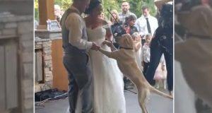 Лабрадор се придружи на првиот свадбен танц