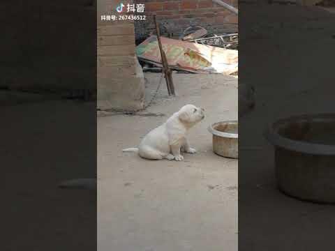 Ова кученце имитира звук на кокошка
