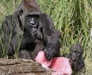 Човеколики мајмуни во изолација поради страв од корона вирус!