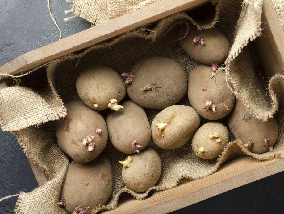 61871193-krumpir-klijanje