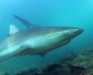 Ајкула од шест мерти кружеше околу пливач: Вака изгледа  драматична средба со морскиот предатор (ВИДЕО)