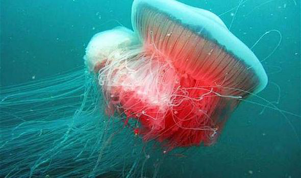 Drimonema-dalmatinum-meduza2