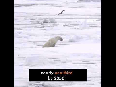 ПРОГНОЗА НА СВЕТСКИТЕ НАУЧНИЦИ: Поларните мечки ќе исчезнат до крајот на овој век (ВИДЕО)
