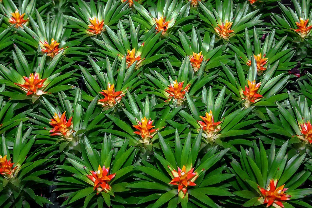 bromelija-cvet-biljka