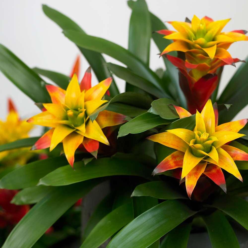 bromelia-flower