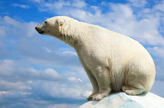 поларна мечка