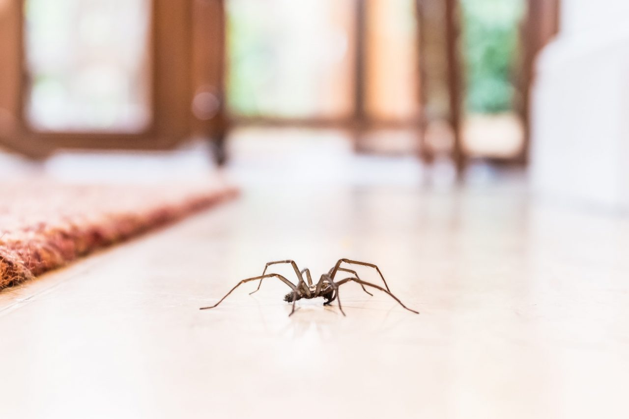common-house-spider-on-the-floor-in-a-home-royalty-free-image-1568322713-1280x853.jpg
