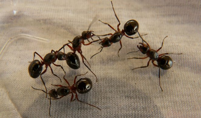 330983_forest-ant-queens-3254-1920_f